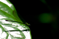 Dragonfly (Dingilingi) Tags: nationalpark sarawak malaysia borneo bako