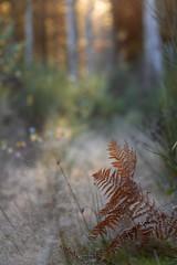 Monts de la Madeleine, France (Bleu Nature) Tags: fern fall forest automne evening soir fort fougre 2013 bleunature montsdelamadeleine nicolebarge lesnos