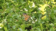 Butterfly (Christine Amherd) Tags: park city butterfly creativity cosmopolitan australia melbourne australien ine parc weltstadt passionate shrineofremembrance mypassion parkmelbourne grossstadt schmietterling christinescreativityphotography christinesphotography