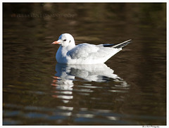 Bird 33 (Brian Gort Wildlife Photography) Tags: park morning autumn winter sunlight black cold colour reflection bird water birds reflections early canal gull sigma sankey reflect valley wwt headed sankeyvalleypark