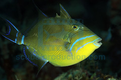2010-12 HERBLAND MARTINIQUE QUEEN TRIGGERFISH BALISTES VETULA 5782