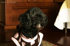 Myllinha (Fernanda Cerioni ) Tags: dog co perro cachorro poodle mylla