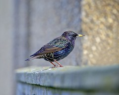 Suburban Starling - Newquay, Cornwall. (johnlunt) Tags: uk portrait england west colour cute bird nature horizontal closeup digital canon john lens eos coast town is photo solitude cornwall natural image zoom britain mark candid wildlife south country softness north newquay starling scene surfing photograph ii l 5d iridescent 70300mm idyllic tranquil freshness scavenger tranquillity lunt migrant birdlife 5x4 alertness tonemapped johnlunt 5dmk2 vision:sky=0762 vision:outdoor=0752