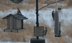 2014-011 - Three Downy Woodpeckers (Steve Schar) Tags: bird birds wisconsin woodpecker downywoodpecker nikon birdfeeder woodpeckers birdfeeders 2014 downywoodpeckers sunprairie project365 nikond7000