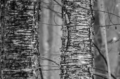 B&W Bark (Ric Rus) Tags: tree fog bark thamesrivertrail
