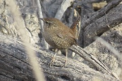 Winter Wren below Brantley Dam