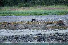_MG_4204a (markbyzewski) Tags: alaska ugly brownbear grizzlybear glacierbaynationalpark