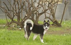 Asha 4 months (txokyt) Tags: dog love true animals husky animales asha mascotas puppie