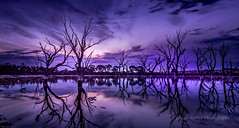 Reflections (Jacqui Barker Photography) Tags: water reflections purple swamp marsh deadtrees vision:mountain=0614 vision:sunset=0601 vision:outdoor=0932 vision:sky=0897