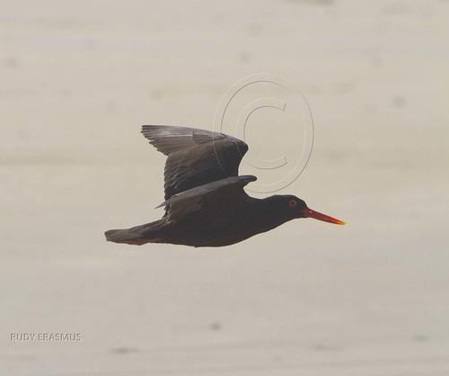 African Black Oystercatcher_0469