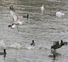 """Angry Gull gives a """"coot!"""" (Ollie girl) Tags: silly bread funny gull angry hahahaha coot chasing whiterocklake"""