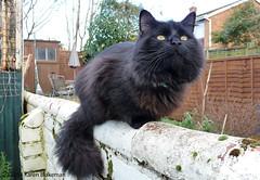 March 3rd, 2014 - Watch the birdie (karenblakeman) Tags: uk cat blackcat march caversham 2014 2014pad