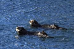 Morro Bay Sea Otters (3) (Bob Palin) Tags: california blue sea 15fav usa water animal 510fav otter morrobay seaotter 100vistas instantfave canonef70300mmf456isusm ashotadayorso canoneos60d orig:file=2013122614990