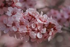 Flowering plum (julesnene) Tags: pink flowers macro spring flora bokeh blossoms prettyinpink plumblossoms floweringtree floweringplum plumflowers canoneos7d julesnene juliasumangil canonef100mmf28lmacroisusm