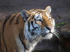 Tiger (Klaus Lechten) Tags: parque gardens zoo tiger olympus zoolgico e3 zoological raubkatze tieger 50200 zukio lechten klauslechten zukio50200