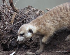 MERKAT 187 (Dancing with Ghosts Graphics) Tags: ca copyright cute animal mammal meerkat pups graphics small gang mob hemet clan mongoose angola sentry suricate copyrighted burrows suricatta dwg desert merkats diurnal 2013 photographiy fawncolored herpestid iteroparous kalahari namib debbrawalker feliform dancingwghosts suricata suricatta dwggraphics botswana oraging siricata majoriae iona