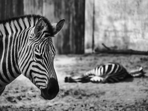 bored zebras