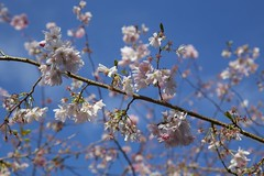 Spring has sprung! (Getting Better Shots) Tags: pink flowers blue trees sky spring flora branches