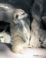MERKAT 1367 (Dancing with Ghosts Graphics) Tags: ca copyright cute animal mammal photography meerkat pups graphics small gang mob hemet clan mongoose angola sentry suricate burrows suricatta 11x14 desert diurnal 2013 photographiy fawncolored herpestid iteroparous kalahari namib debbrawalker feliform dancingwghosts suricata suricatta dwggraphics botswana oraging siricata majoriae iona
