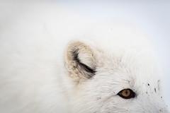 Arctic fox - Langedrag naturpark (Reynald HENRY) Tags: park white animal oslo norway silver norge nikon farm wildlife arctic 300mm fox nikkor f28 afs langedrag d800