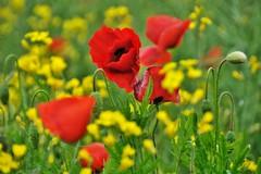~~En rouge et jaune...~~ (Jolisa) Tags: flowers red yellow fleurs jaune rouge pr colza coquelicots mai2014