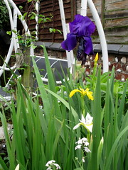 Irises in our Garden.. (carlene byland) Tags: flowers white colour leaves yellow wall fence garden purple flags bearded irises kettering