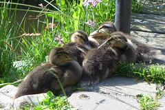 P1010355 (brandsvig) Tags: skne sweden may ducks ankor sverige malm 2014 lx7 nder augustenborg ankungar llingar lumixlx7 ekostaden ekostadensdag ellingar augustenborgstorget