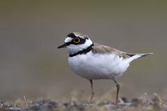 Little Ringed Plover (Baractus) Tags: uk west john little lane marsh nr plover ringed oates midlands