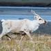 Caribou cow (Rangifer tarandus granti), Utukok, Alaska