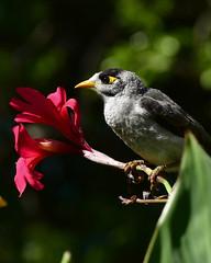 Noisy Miner Y (BossBurt) Tags: sydneybotanicalgardens