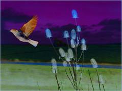 CLOSE YOUR EYES & BREATHE IT IN (Poppy Cocqué ღ) Tags: dannygokey tellyourhearttobeatagain quote quotation poem poetry prose dedication art artwork compilation collage ap poppy poppycocqué closeyoureyesbreatheitin seamusheaney teasel flowers flowerheads church fairfield fairfieldchurch marsh marshland fieldfare bird animal outdoors outside colours moods contrast surreal surrealistic surrealism beginnings new stthomasàbecketchurch