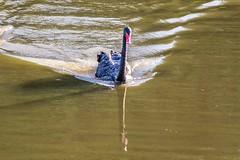 Cisne (2) (zemengao1964) Tags: tanguá riodejaneiro brasil cisnes swans