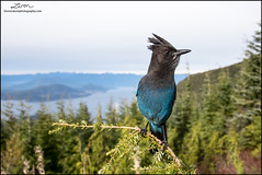 Steller's Jay (lironsnaturephotography.com) Tags: bird birds birding birdwatching birdphotography nature natural naturephotography animal animals wildlifephotography wild corvid corvidae mountain mountains tree trees forest forests outdoor outdoors bc britishcolumbia canada canon canon7dmarkii canoneos7dmarkii 7dmarkii jay jays stellersjay cyanocittastelleri coastmountains westvancouver metrovancouver greatervancouver lowermainland bccoast coast coastalbc coastalbritishcolumbia blue provincialbird provincialbirdofbc wide wideangle wideanglewildlife canon1740mm 1740mm canonef1740mmf4lusm 17mm lironsnaturephotographycom