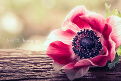 March (RoCafe on/off) Tags: stilllife flowers spring anemone pink macro garden bokeh nikkormicro105f28 nikond600