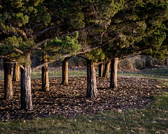 Evening Light (d_russell) Tags: 365the2017edition 3652017 day65365 6mar17 green shawneemissionpark cedartree