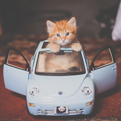 Rosebud in the VW (Kilkennycat) Tags: blue cute car cat canon bug volkswagen toy ginger kitten funny sweet tabby 50mm14 playful newbeetle 500d kilkennycat t1i ryanconners