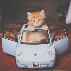 Rosebud in the VW (Kilkennycat) Tags: blue cute car cat canon bug volkswagen toy ginger kitten funny sweet tabby 50mm14 playful newbeetle 500d kilkennycat t1i ryanconners