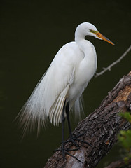 IMG_2098aps (soccersc(Jim Allen)) Tags: bird birds wildlife ngc npc charlestonsc interiordesign waders greategret herons egrets birdwatcher summervillesc ardeaalba wildlifeart wildlifephotography fineartprints soccersc lakeashborough naturallyjimallen