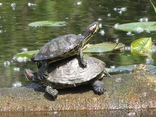 Red-eared Sliders, Juanita, WA 5/24/13