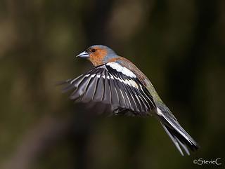 Finch In Flight