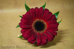 Red Gerbera Buttonhole named (Francesca Delanty-Granger Photography) Tags: wedding red brown green groom bride rich large gerbera weddings bridal buttonhole burgany
