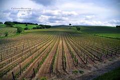 Brunello in progress (Celeste Messina) Tags: sky italy panorama verde green primavera nature clouds landscape photo vineyard spring nikon italia nuvole view wine country perspective vine natura pic campagna rows cielo tuscany grapes grapefruit siena toscana uva paesaggio grapevine vino celeste prospettiva vigneto viti vigna filari d5000 sanquiricodorcia valdorcia