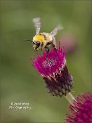 High Pollen Count (bretton98) Tags: nature fauna bees insects warwickshire canon50d brandonmarshnaturereserve warwickshirewildlifetrust bretton98 davidwhitephotography