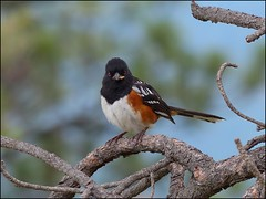 Spotted Towhee (pjmaudsley) Tags: me2youphotographylevel2 me2youphotographylevel3 me2youphotographylevel1 freedomtosoarlevel1birdsonly freedomtosoarlevel2birdsonly
