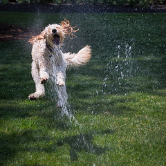 Play (Dalliance with Light (Andy Farmer)) Tags: dog water droplets action sprinkler splash leap