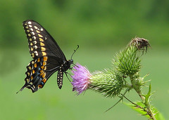 Black swallowtail on pink thistle (Vicki's Nature) Tags: pink black male canon butterfly georgia thistle ngc npc peg sweep rockon s5 biello blackswallowtail bullthistle 2906 gamewinner supershot unanimous touchoforange touchofblue faves20 favescontestwinner vickisnature faveswinner gamesummer yourockwinner yourockunanimous gamex2winner gamex3winner gamex2sweepwinner yourockanythinggoes yourockrockonchallenge favesfavoredchallenge rockonwinner returnarray readymother readyfavored readyrockconcert storybookbutterfly gamegamex2chall readygameon gamegamex3tough