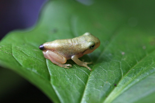 自然環境保全センターのカエルさん(Frog, Nature Environment Preservation Center, Kanagawa, Japan)