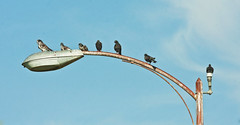 Los Pichones (Columba livia); Tucson, AZ, Hyde Park [Lou Feltz] (deserttoad) Tags: park arizona lake bird nature clouds desert pigeon wildlife wildbird