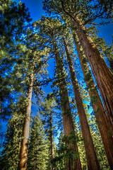 More Tall Sequoias (J*Phillips) Tags: california trees summer landscape yosemite sierranevada sequoia hdr lightroom photomatix