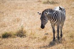 Evolution Breeds Friendships (Universal Stopping Point) Tags: bird kenya stripes safari zebra savannah grassland savanna masaimara